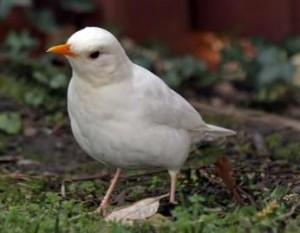 white blickbird