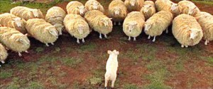 babe e le pecore