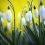 bucaneve sfondo giallo