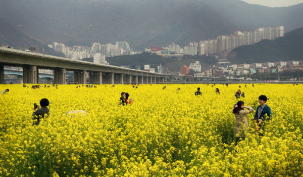140707-canola-flowers-june-pod