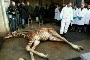 Marius-the-giraffe-who-was-killed-by-Copenhagen-Zoo-despite-offers-to-re-home (1)