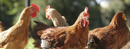 Le galline sono l'uccello che maggiormente ha popolato il pianeta Terra dall'alba dei tempi