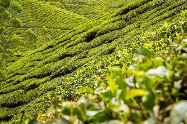 piantagione_tea