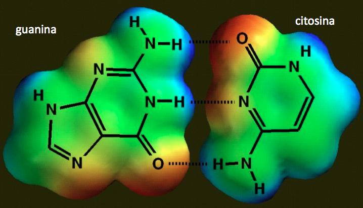 Accoppiamento tra Guanina (G) e Citosina (C): in rosso zone con maggior carica negativa, in azzurro zone con maggior carica positiva