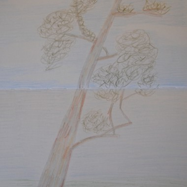 Eucalipto gigante