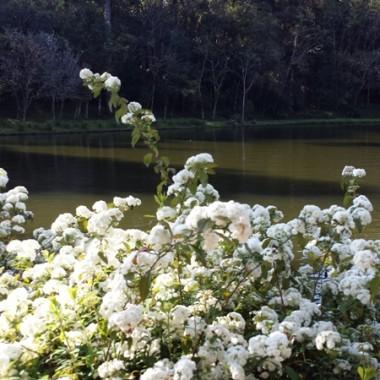 I riflessi dei fiori bianchi