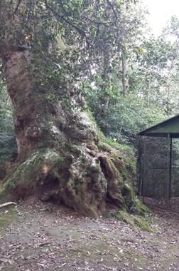 I grandi alberi brasiliani