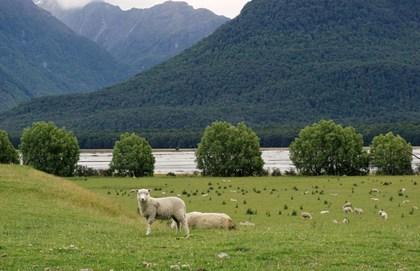 Pecore (South Island)