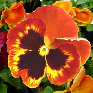 pansy-bloom-flower-close-up-macro-orange