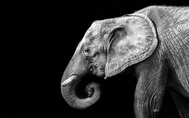1389015936_elephant-in-black-and-white_800