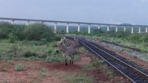 Zebre sulla vecchia ferrovia, sullo sfondo la nuova TAV Cinese.