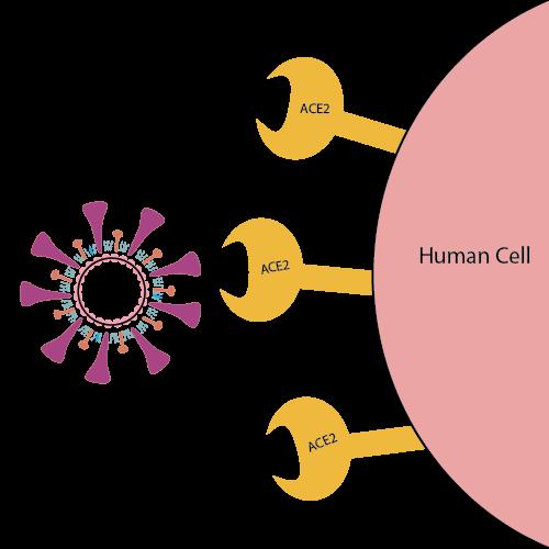 Il primo passo dell'infezione è l'unione tra una proteina sulla superficie del virus e un enzima recettore (ACE2) sulla membrana di una cellula umana