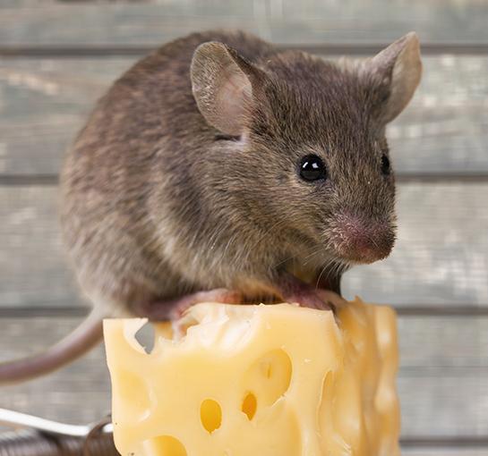 Convivenza tra uomini e topi