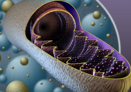 Un mitocondrio